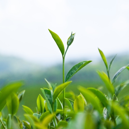 tea estates: Tea Leaf with Plantation in garden