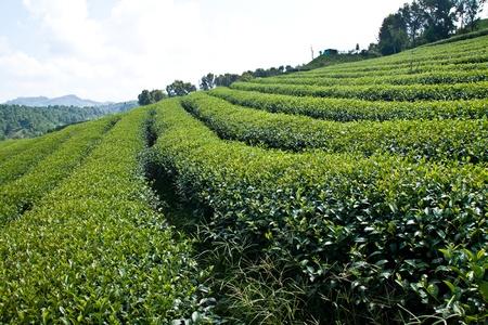 tea plantations: tea garden in countryside on moutain in Thailand