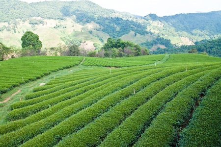 tea garden in countryside on moutain in Thailand photo