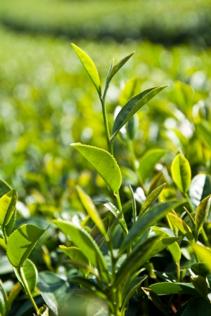 Tea Leaf with Plantation in garden photo