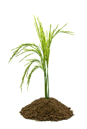 rice in soil isolated on white background