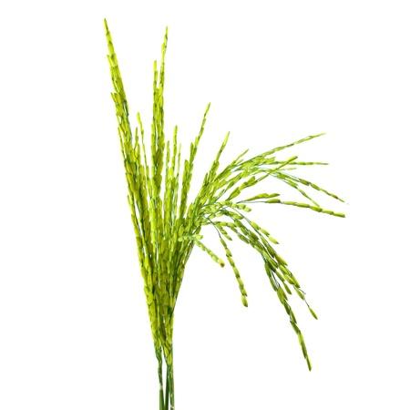 Ear of rice isolated on white background photo