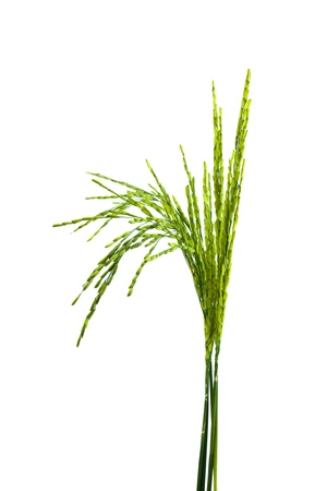 crop  stalks: Ear of rice isolated on white background Stock Photo