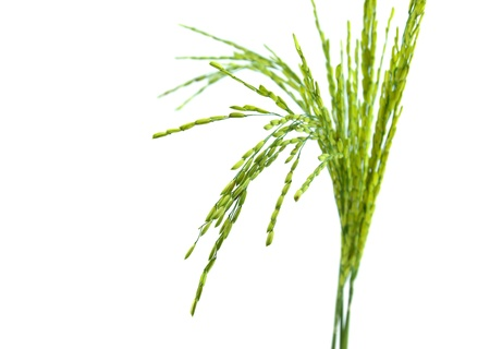 Ear of rice isolated on white background Banque d'images