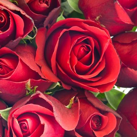 background of red rose Banque d'images