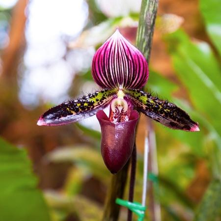 """lady s: Esta orqu�dea en tailand�s llamada """"Lady Slipper s"""", tomar de Mae Fah Luang Garden, de la familia Orchidaceae"""
