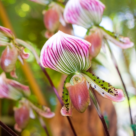 thai orchid: This orchid in thai call Lady s Slipper,take from Mae Fah Luang Garden,Orchidaceae family