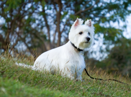 westie dog in relax time photo