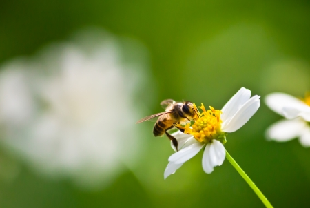 yellow wildflowers: bee collecting nectar on the flower for pollination.