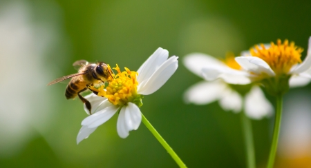 pollination: bee collecting nectar on the flower for pollination.