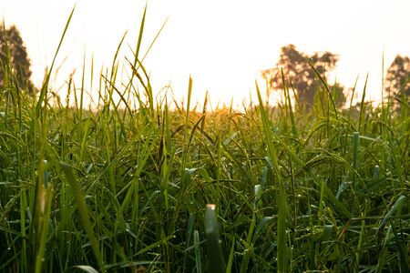 background of rice sprout on farm with drop