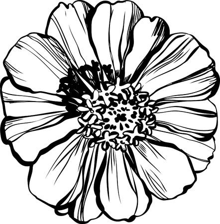 Image of wildlife a Major zinnias astereseae Illustration