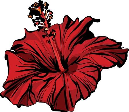 beautiful red hibiscus flower: Fauna de imagen un chino aument� closeup hibiscus