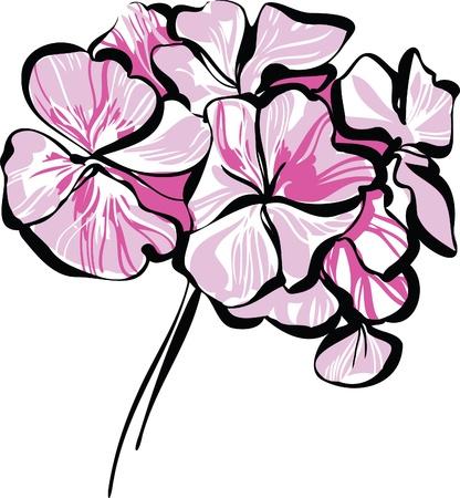 color image of a houseplant rosebud geranium