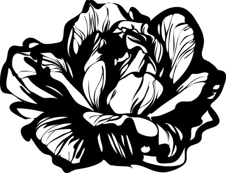 cabbage: black and white image of young cabbage vegetable crops Illustration