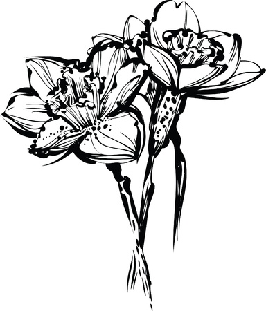narcissus:  image black and white sketch of three flowers of narcissus Illustration