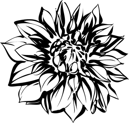 a black and white sketch of chrysanthemum Stock Vector - 10681102