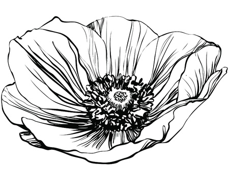 a black and white picture poppy flower Illustration