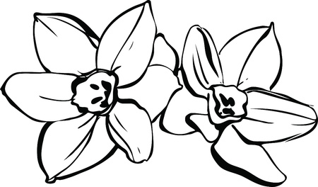 a couple of daffodils on white background Vector