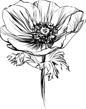 암술: 스토킹에 흑백 사진 양귀비 꽃