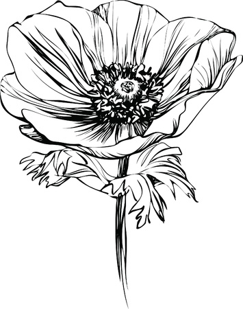 black and white picture poppy flower on the stalk Illustration
