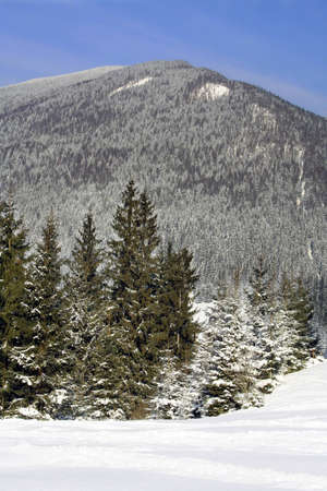 fir-trees at the foot of mountains Carpathians  photo