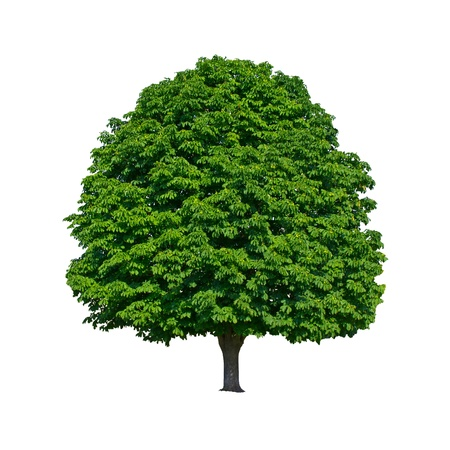 large green chestnut tree grows in isolation photo