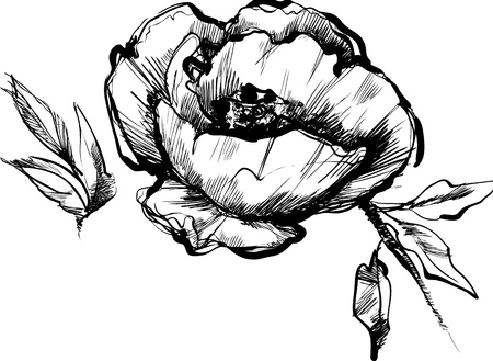 blackly: sketch  of bud  of flower of peony