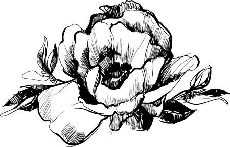 flowerbed: a sketch  of bud  of flower of peony