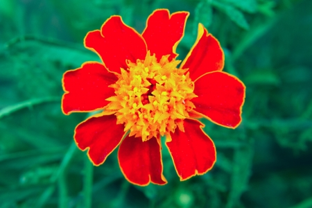 garden marigold: a image of a beautiful flower garden marigold TAGETES Stock Photo
