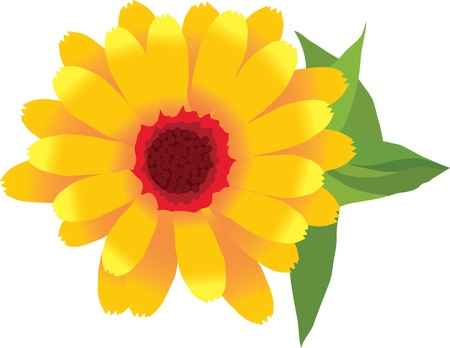 a image of garden plants flower calendula Illustration