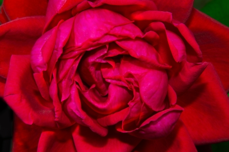 a image of a red rose bud close-up photo