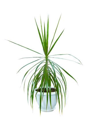 a Image houseplant dracaena palm in a pot