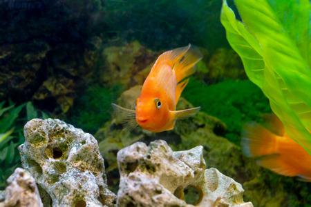 image of a beautiful aquarium decorative orange parrot fish  photo