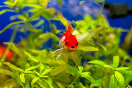 image of a beautiful golden aquarium fish photo
