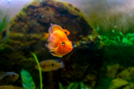 image of a beautiful aquarium decorative orange parrot fish  photo