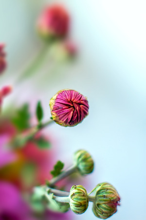 a Image of autumn garden chrysanthemum flower photo