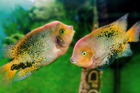 freshwater aquarium plants: beautiful aquarium fishes (Cichlasoma synspilumn)