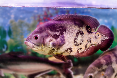 astronotus: beautiful aquarium fish (Astronotus)