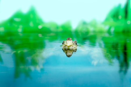 cold blooded: freshwater exotic turtle Matamata