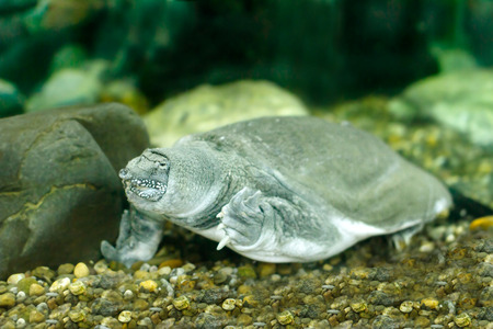 freshwater turtle: freshwater exotic Chinese soft shell turtle