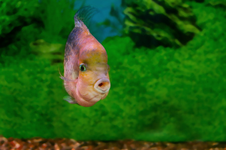 freshwater aquarium plants: image of a beautiful aquarium fish Cichlasoma synspilum Stock Photo
