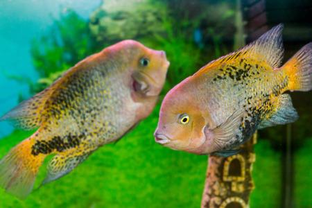 freshwater aquarium plants: image of a beautiful aquarium fish Cichlasoma synspilumn Stock Photo