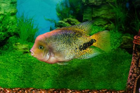 freshwater aquarium plants: mage of a beautiful aquarium fish Cichlasoma synspilumn