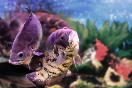 astronotus: image of a beautiful aquarium fish Astronotus Stock Photo