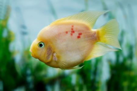 cichlasoma: mage of a beautiful aquarium fish Amphilophus citrinellusc