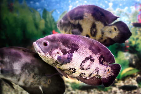 astronotus: image of a beautiful aquarium fish Astronotus Stock Photo
