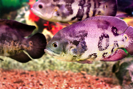 astronotus: image of a beautiful aquarium fish Astronotusa Stock Photo