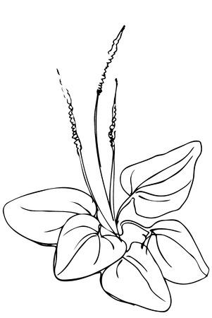weegbree: zwart en wit vector schets van medicinale plant weegbree Stock Illustratie