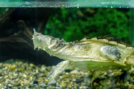 freshwater: Image of freshwater exotic turtles Matamata